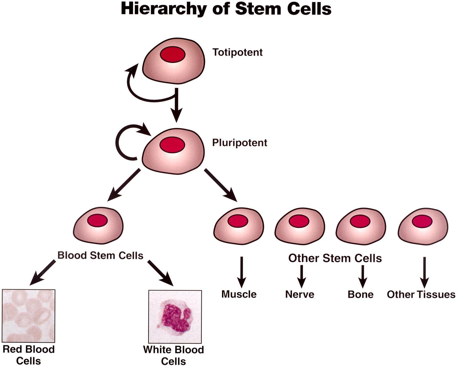 Audioboom / Topic 3-11 Stem Cells