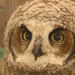 Horned Owl Capture