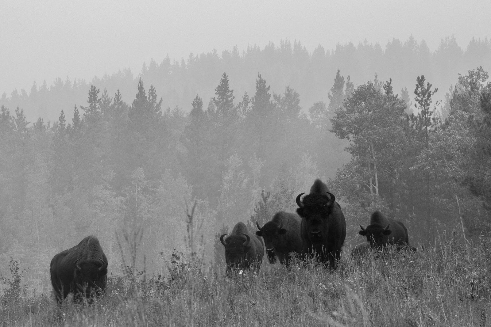 139: Buffalo in the Storm