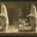 Polar bear Ursus maritimus Zoo Lincoln Park Chicago from Robert N. Dennis collection of stereoscopic views