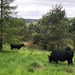 Electric fencing within an agroforestry situation with long grass being grazed by black cattle surrounded by conifer trees. Photo credit Nikki Yoxall