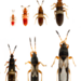IFAS Chinch Bug Stages Small